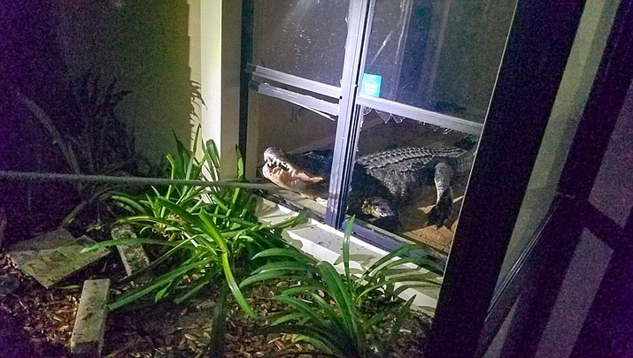 An 11-foot alligator is seen after it crashed through the kitchen window of Mary Wischhusen's  Clearwater, Florida home on May 31, 2019. (Clearwater Police Department)