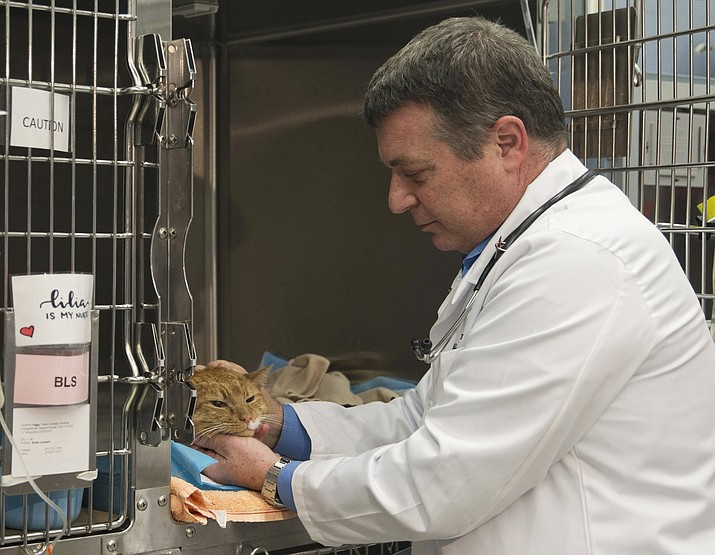 Dr. Richard Goldstein, chief medical officer at the Animal Medical Center, checks on one of his patients at the hospital's clinic in New York. When asked his feeling about declawing cats, Goldstein said that veterinarians don't like the procedure but it's better than the alternatives of housing the cat in a shelter or putting it to death. New York state would be the first state in the nation to ban the declawing of cats under legislation scheduled for a vote Tuesday, June 4, 2019. (AP Photo/Mary Altaffer, File)