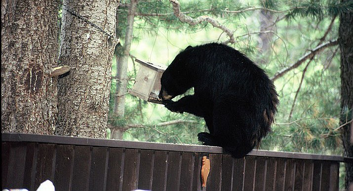 The Arizona Game and Fish Department reports black bears usually avoid people, but if they start to associate people with food they may become aggressive. Arizona Game and Fish courtesy photo