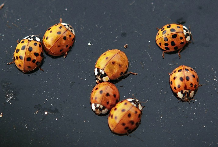 This Oct. 21, 2009, file photo shows ladybugs on a vehicle in Chatham, Ill. A huge blob that appeared on the National Weather Service's radar wasn't a rain cloud, but a massive swarm of ladybugs over Southern California. Meteorologist Joe Dandrea says the array of bugs appeared to be about 80 miles (129 kilometers) wide as it flew over San Diego Tuesday, June 4, 2019. (AP Photo/Seth Perlman, File)