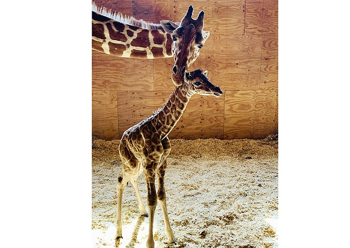 This March 16, 2019 photo provided by Animal Adventure Park shows April the Giraffe with her new male calf on in Harpursville, N.Y. There will be no more babies for April, the giraffe that enthralled worldwide YouTube audiences with two livestreamed pregnancies and births.