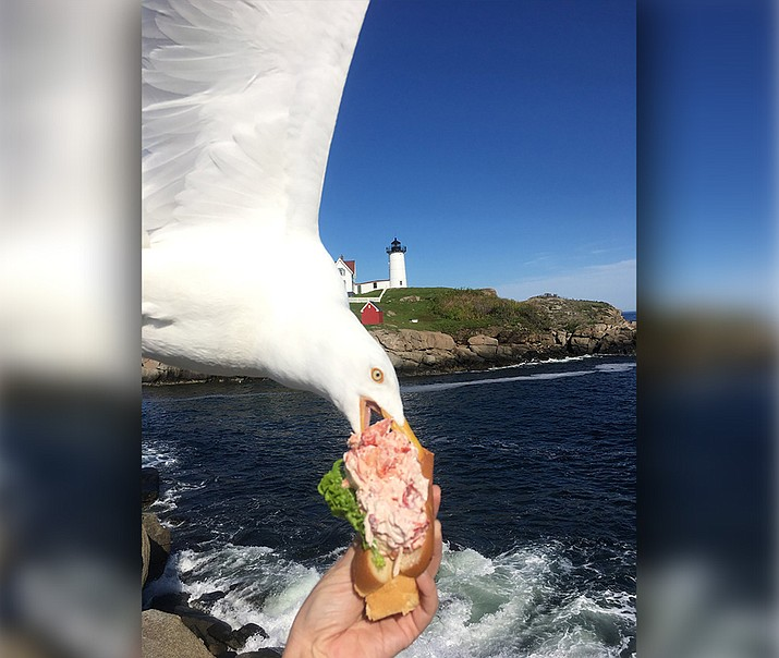 In this Friday, June 7, 2019, photo provided by Alicia Jessop, a seagull takes a bit of Jessop's lobster roll in York, Maine. Jessop wanted to snap the perfect picture Friday of her lobster roll from Fox's Lobster House before she took a bite. She says she was focused on framing the sandwich with the picturesque Nubble Lighthouse in the background when she felt something rustle her hand. She quickly realized a seagull had knocked it out of her hand and was already eating it. (Alicia Jessop/@rulingsports via AP)