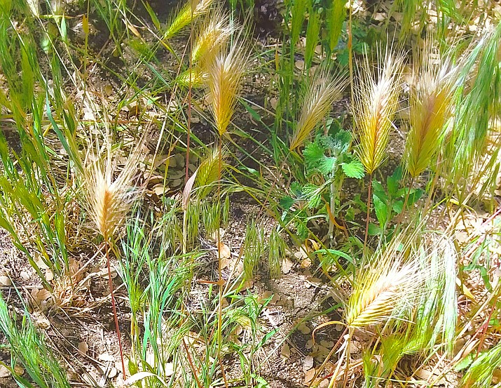 Dying grass heads are a danger to our pet's ears and feet, either at home or on the road. Check for them regularly. (Christy Powers/Courtesy)