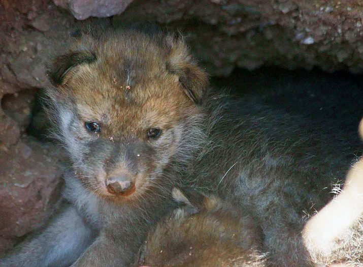 Female wolf Tazanna gave birth to a litter of six pups in early May. (The Phoenix Zoo via AP)