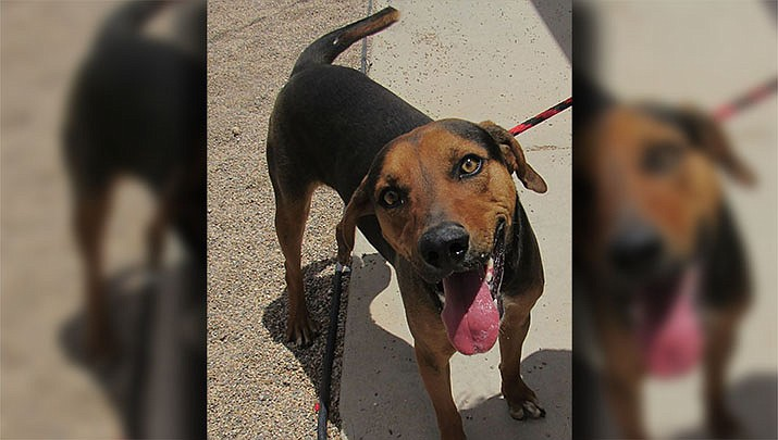 Sanford, a hound mix, is one of many pets looking for forever homes at Western Arizona Humane Society, 950 Buchanan St. (Photo courtesy of WAHS)