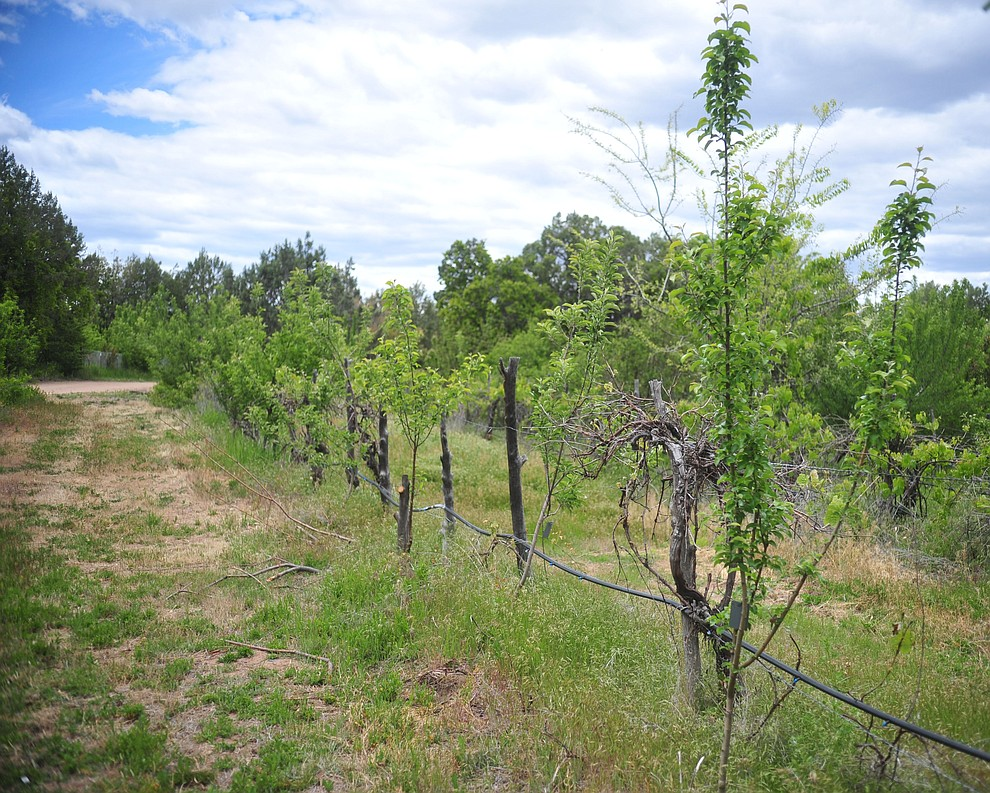 Arkansas Black apples start to grow at the Stoic Cider orchard and bottling facility Tuesday, May 29 in Williamson Valley northwest of Prescott. (Les Stukenberg/Courier)