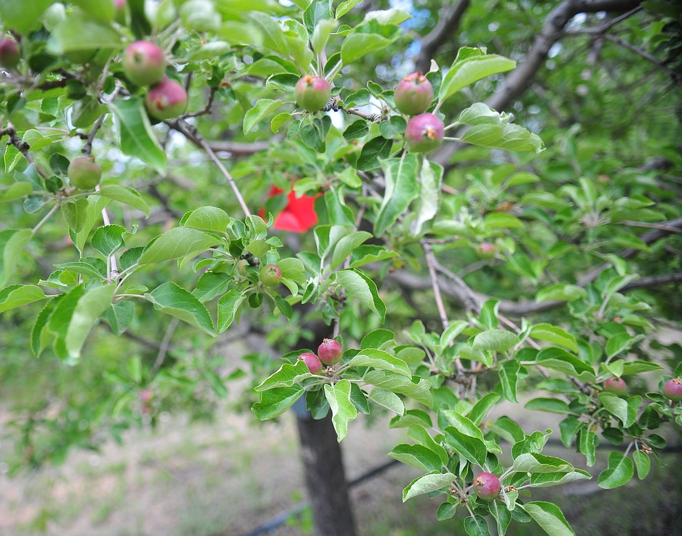 Gingergold apples at the Stoic Cider orchard and bottling facility Tuesday, May 29 in Williamson Valley northwest of Prescott. (Les Stukenberg/Courier)