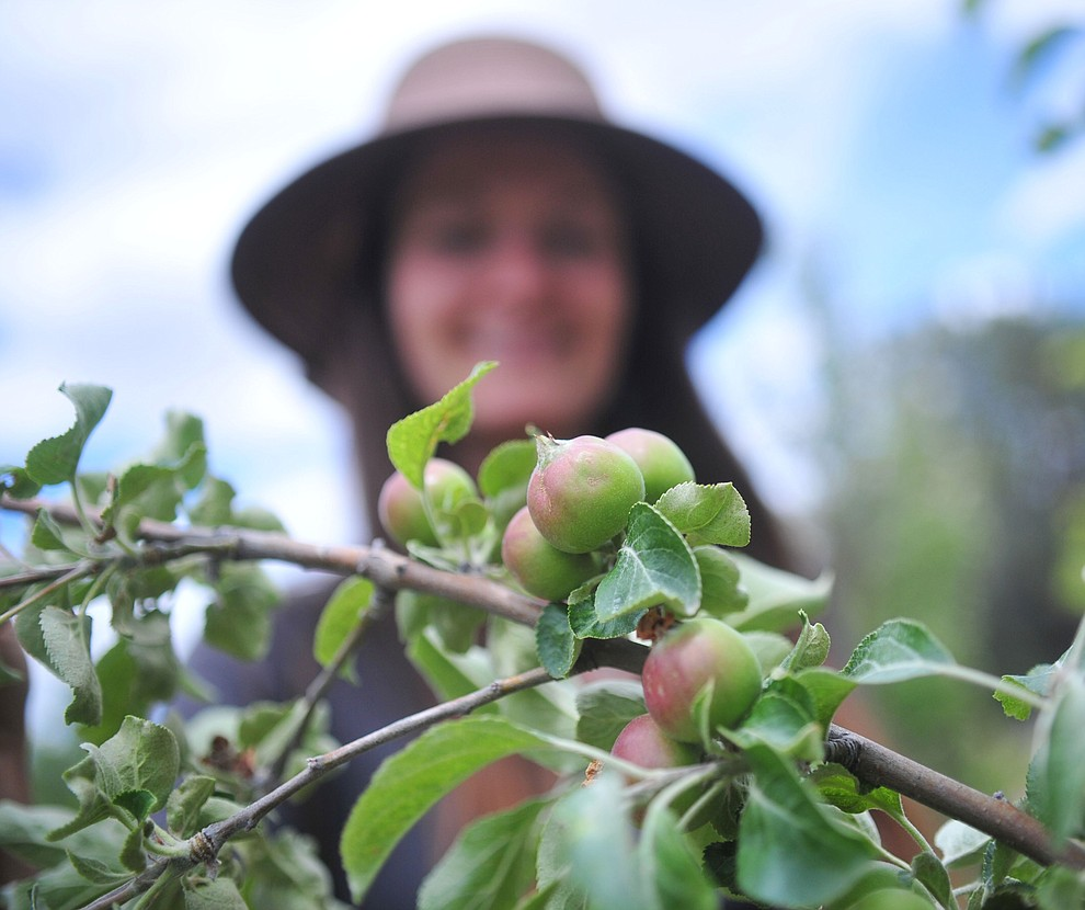 American Golden Russett, a prime cider apple tree, at the Stoic Cider orchard and bottling facility Tuesday, May 29 in Williamson Valley northwest of Prescott. (Les Stukenberg/Courier)