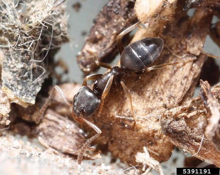 Odorous house ant. (Joseph Berger, Bugwood.org/Courtesy)