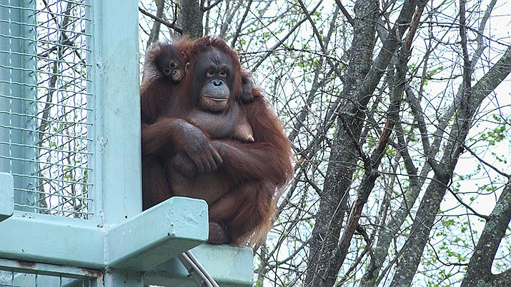In this April 4, 2017 photo, The Smithsonian's National Zoo's nearly 7-month-old male Bornean orangutan infant, Redd, took his first trip on the O-Line April 4 carried by his mother, Batang. Research labs are retiring primates to sanctuaries like Primates Inc., a 17-acre rural compound in central Wisconsin, where they can live their remaining years after research studies are done, according to sanctuaries and researchers. (Photo by Roshan Patel, Smithsonian's National Zoo)