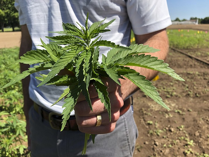 Lloyd Nackley, a plant ecologist with the Oregon State University Extension Service, holds freshly picked tops of hemp plants from one of Oregon State's hemp research stations Thursday, June 13, 2019, in Aurora, Ore. (Gillian Flaccus/AP)