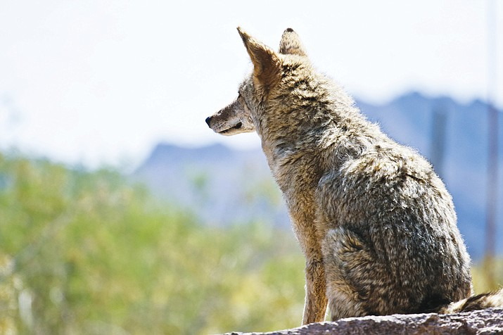 AZGFD Commission is planning to decide whether to ban predator contests in June. (Adobe/photo)