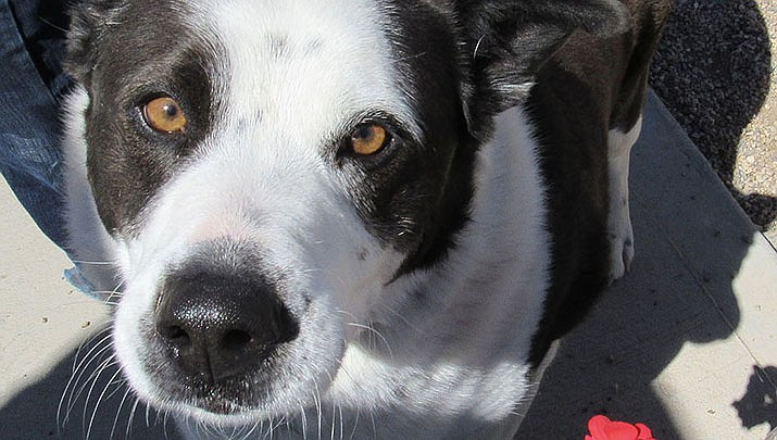 """A recent study suggests that over thousands of years of dog domestication, people preferred dogs that could pull off the """"puppy dog"""" eyes look. And that encouraged the evolution of the facial muscle behind it, researchers propose. (Daily Miner file photo)"""