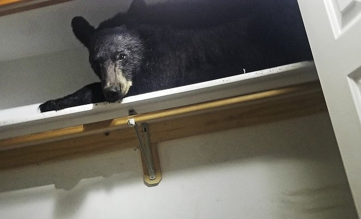 In this photo provided by the Missoula County Sheriff's Office, a back bear lays on a closet shelf Friday, June 21, 2019, in Missoula, Mont. Authorities say a black bear somehow locked itself inside a Montana home and then nestled onto a closet shelf that wasn't too hard, wasn't too soft, but just right for a nap. Missoula County sheriff's officials say the bear just yawned when deputies knocked on the window and unlocked the door in an attempt to coax it to leave. (Missoula County Sheriff's via AP)
