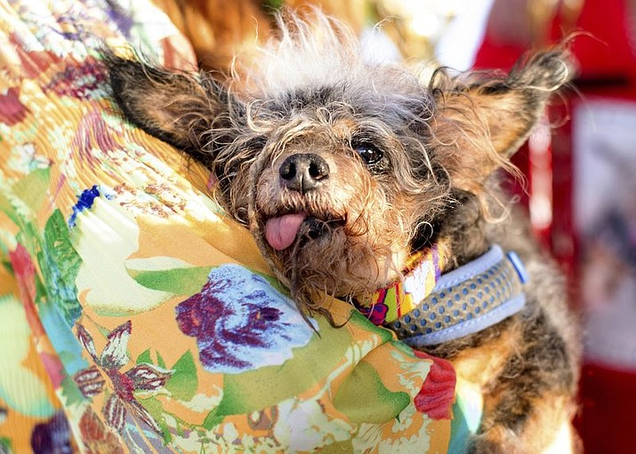 Scamp the Tramp wins World's Ugliest Dog Contest | The Daily Courier