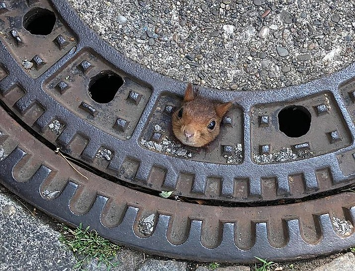 In this Thursday, June 20, 2019 photo provided by the fire department a squirrel is stucked in a gully cover in Dortmund, Germany. When rescuers arrived, they spotted the tufted-eared squirrel's head poking out of a hole in the cover. Initial attempts to free the animal were unsuccessful, so the entire manhole cover was removed and taken to a nearby veterinary clinic, while police were called in to guard the open sewer. Vets used anesthetic to calm the squirrel and then freed the animal. It was treated for superficial neck wounds and then released back into the wild. (Feuerwehr Dortmund/dpa via AP)
