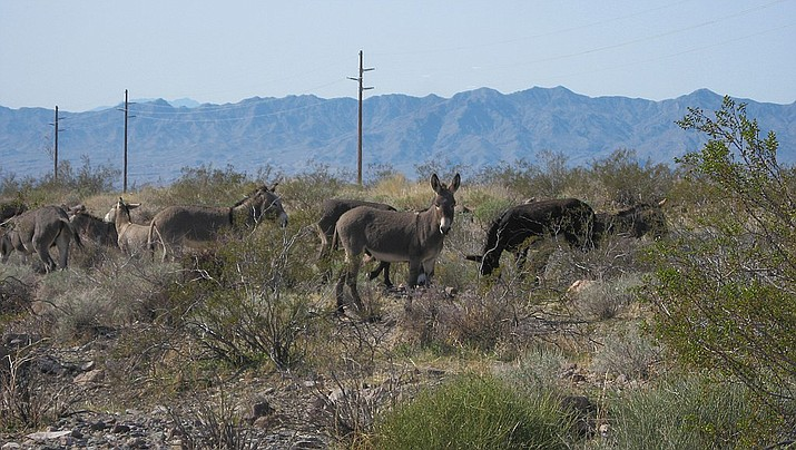 A herd of wild burros near Oatman. (Photo by Ken Lund, cc-by-sa-2.0, https://bit.ly/2IuXRdg)