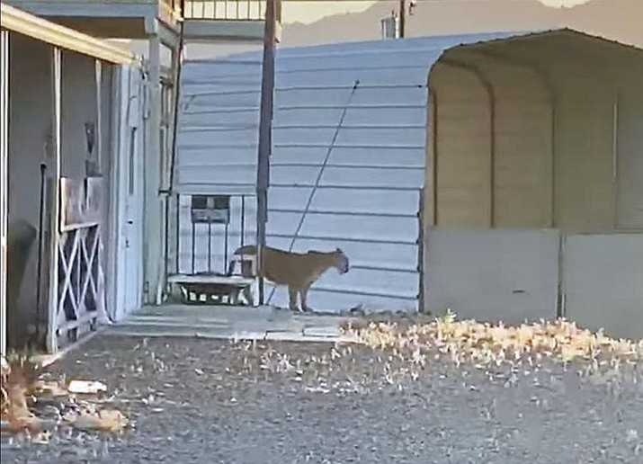 This video still shows the mountain lion wandering the Desert Hills area. (Courtesy of Krista Bailey Moyes via Facebook)