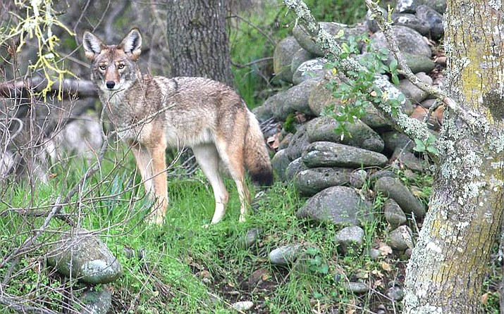 The Arizona Game and Fish Commission has voted to ban hunting contests that charge fees and award prizes for killing the most of certain types of predatory and fur-bearing animals. (USFWS/photo)