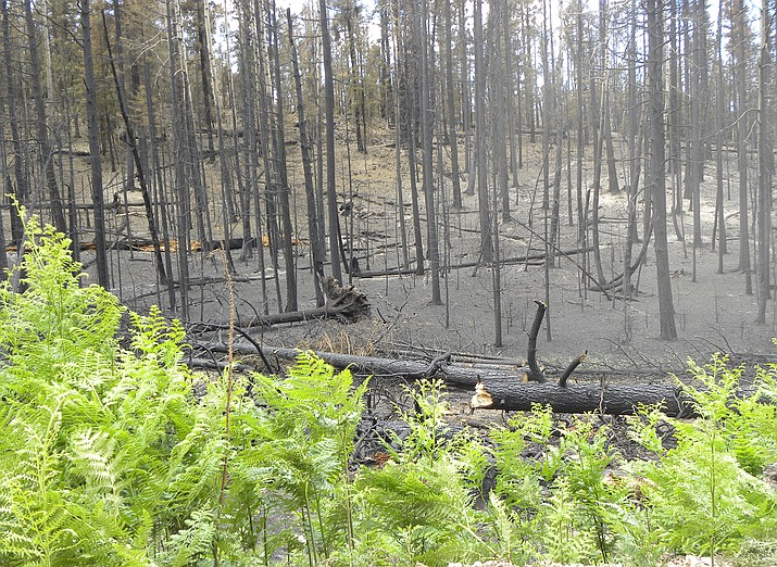 A 16-year-old male from Glendale has pleaded guilty to starting three fires on the Black Mesa Ranger District of the Apache  —  Sitgreaves National Forest outside of Forest Lakes. (USFS/photo)