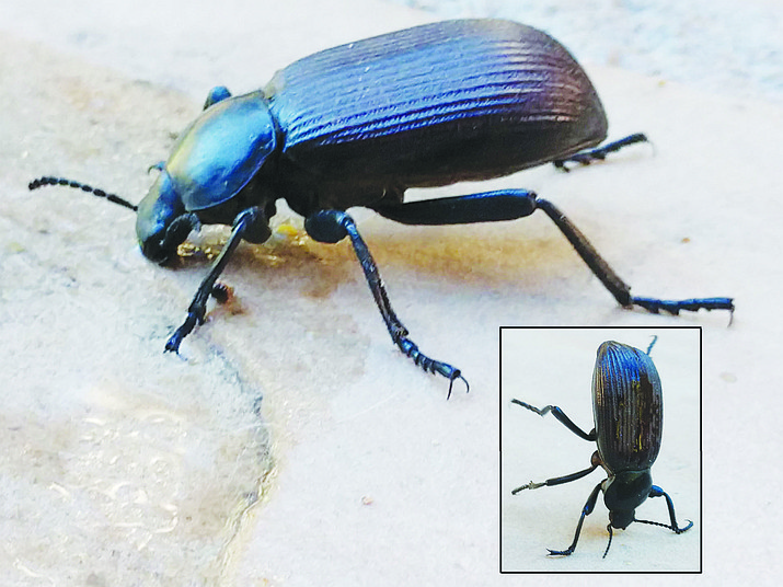 Pinacate beetle (Eleodes sp.) drinking water. Inset: pinacate beetle in a defensive posture. This beetle was 1.3 inches long. (Jeff Schalau, University of Arizona/Courtesy)
