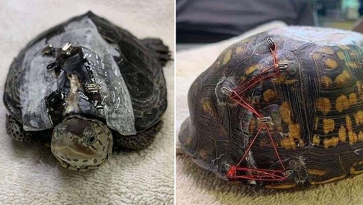 Carolina Waterfowl Rescue is asking women through social media to remove the eye closures from the fasteners and mail them in. The group says the eye closures help wire injured turtle's shell back together. (Carolina Waterfowl Rescue)