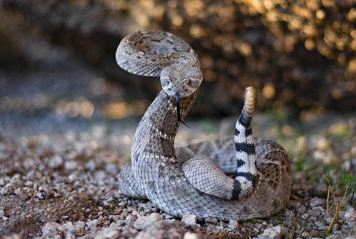 A rattlesnake. (Courier stock photo)