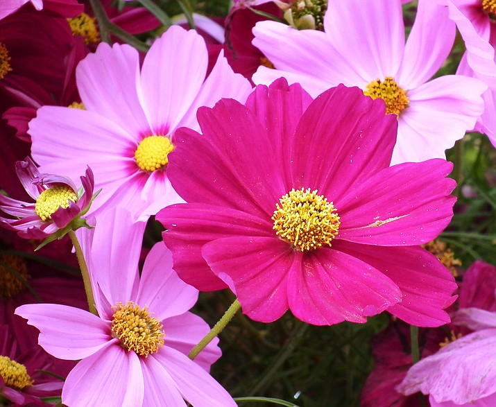 Cosmos are easy to grow and can be found in vibrant, bright shades of pink, purple, orange, red, soft pastels, and even white. (Watters Plant Library/Courtesy)