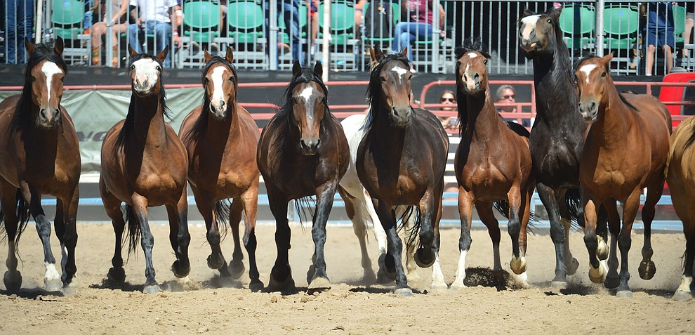 The equine athletes following the fourth performance of the Prescott Frontier Days Rodeo Thursday July 4, 2019.  (Les Stukenberg/Courier)