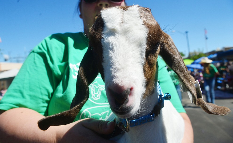 A baby goat from Yavapai County Fair group during the Prescott Frontier Days Rodeo Parade through the streets of downtown Prescott Saturday July 6, 2019.  (Les Stukenberg/Courier)