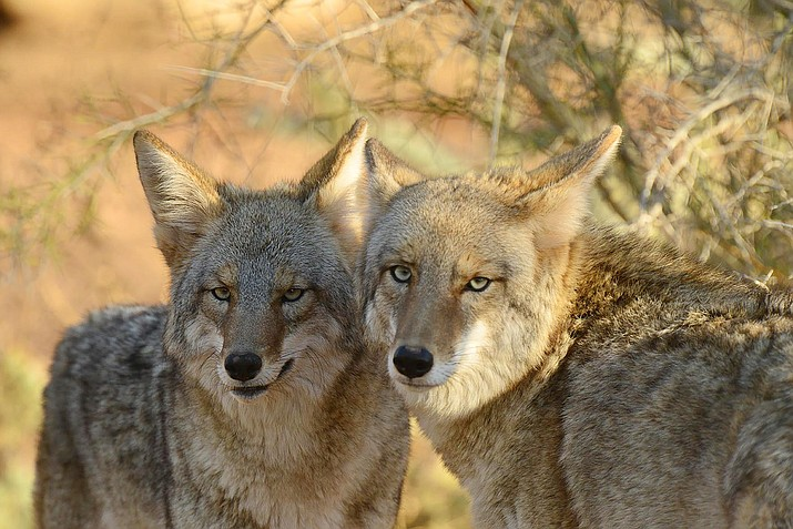 Coyote killing contests have strong statements opposing them. (George Andrejko/AZGFD/Courtesy)