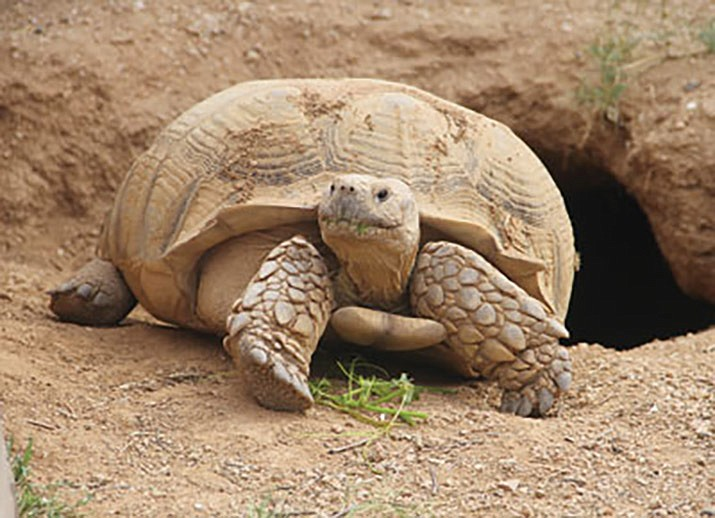 Desert tortoises will be the topic of an upcoming presentation set for Friday, July 12 at the Kingman library. (Daily Miner file photo)