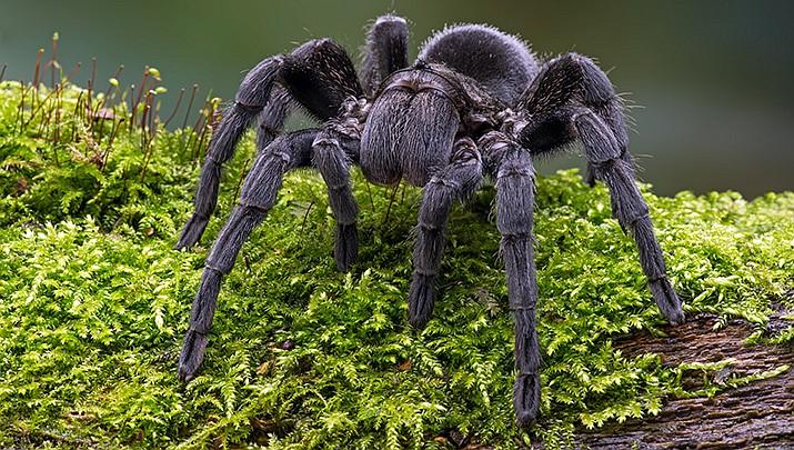 Tarantula (Stock image)