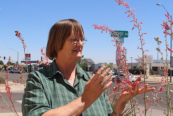 Mohave County Cooperative Extension master gardener Nancy Sandy examining plants in front of the Kingman Daily Miner building, 3015 Stockton Hill Road on July 9, 2019. (Photo by Agata Popeda/Daily Miner)