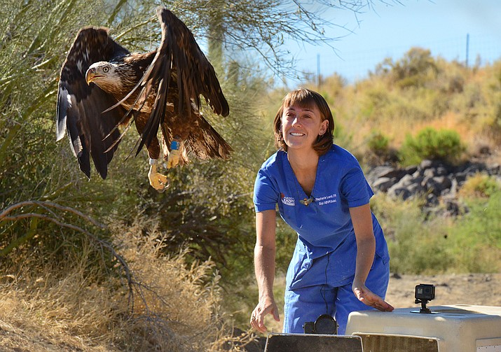 A representative from Liberty Wildlife releases a rehabilitated bald eagle near Horseshoe Lake early last week. (Photo/AZGFD)