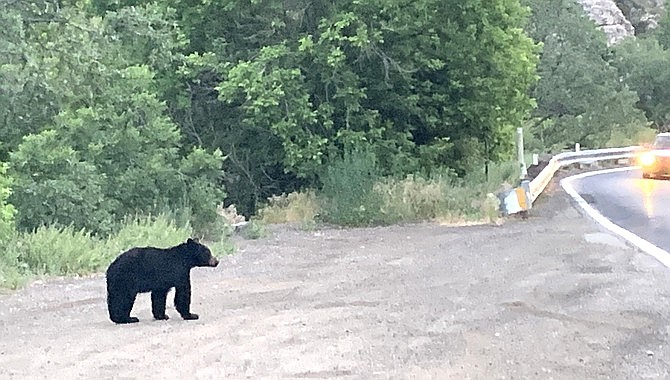 A black bear walks along State Route 89A outside of Jerome. Arizona Game and Fish Department officials say there are between 50 and 70 bears in the Mingus Mountain range, including Woodchute Mountain and the Black Hills through the community of Cherry. (Tom Norvelle/Courtesy)