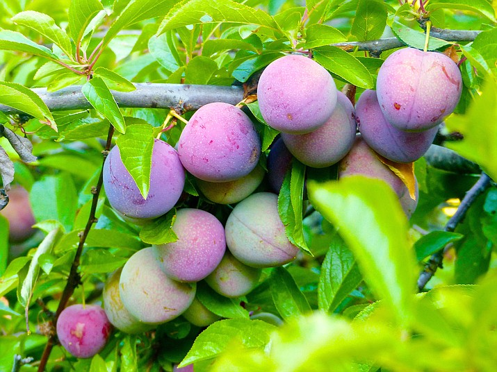 This June 26, 2015 photo shows plums nearing maturity growing in an orchard near Langley, Wash. Flesh firmness and color are good clues to determine when they're ripe enough to be picked. (Dean Fosdick via AP)