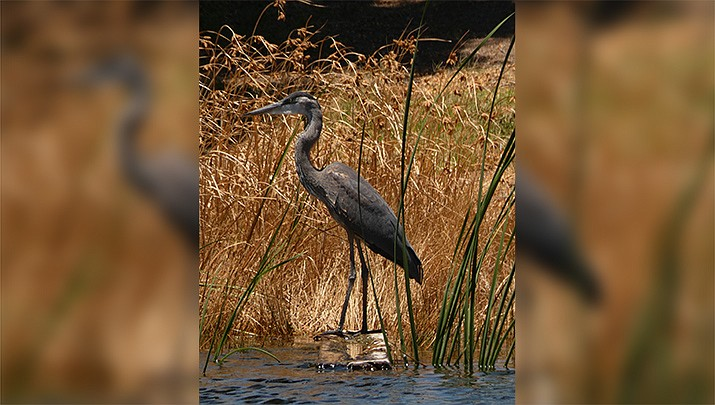 The photographer captured this photo of a Blue Heron on the pond at Cerbat Cliffs Golf Course last week. (Robert Dell/Courtesy)