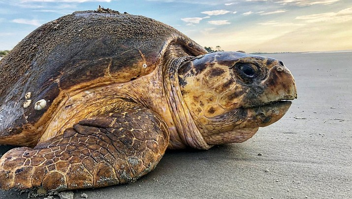 A loggerhead sea turtle returns to the ocean after nesting on Ossabaw Island, Ga. The giant, federally protected turtles are having an egg-laying boom on beaches in Georgia, South Carolina and North Carolina, where scientists have counted record numbers of nests this summer. (Photo courtesy of Georgia Department of Natural Resources)