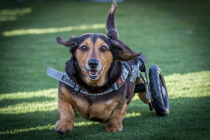 Odie is the fan favorite to win in the Wiener Dog Races at Arizona Downs at the July 20 Wiener Mania event, despite his paralyzed back legs. (Arizona Downs/Courtesy)