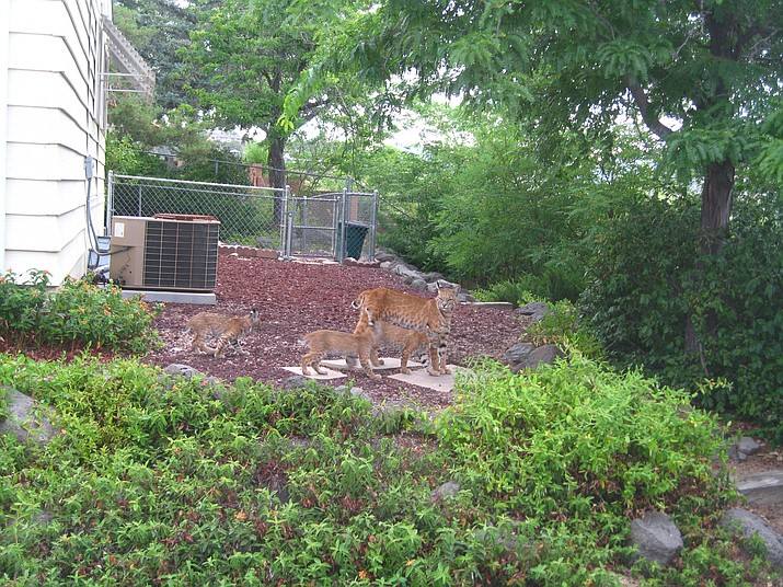 A Prescott resident discovered this bobcat and her three cubs walking through her backyard.