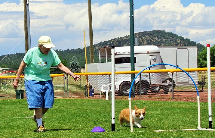 Barb Davis, 85, of Sierra Vista runs Munchkin through the hoops in an attempt to beat the clock at Turns 'N Wraps July 13 in Williams. (B. Garibay/WGCN)