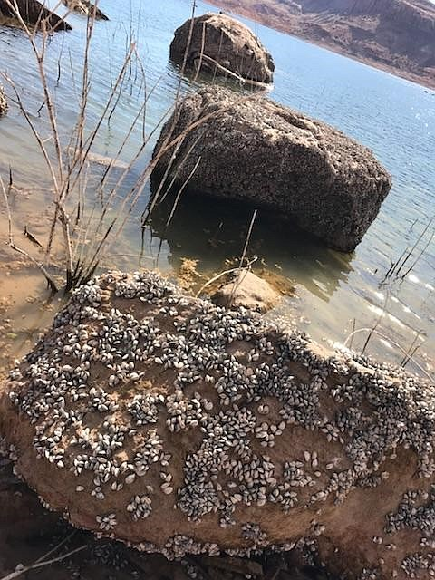 An undated photo shows quagga mussels attached to sandstone ricks on the shore of Lake Powell. the invasive mussels can easily spread to other water sources, warns NPS.  (Photo/NPS)