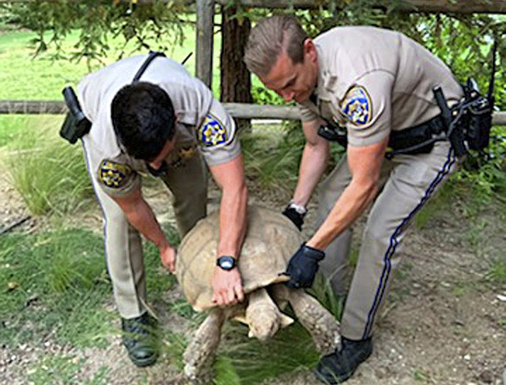 California Highway Patrol officers rescuing a 250-pound tortoise that wandered away from its home and was spotted on the shoulder of a road in Santa Ynez, Calif., about 100 miles (161 kilometers) northwest of Los Angeles. (California Highway Patrol via AP)