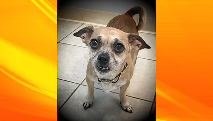 Roxy is an approximately 6-year-old Chihuahua/Pug mix. (Chino Valley Animal Shelter/Courtesy)