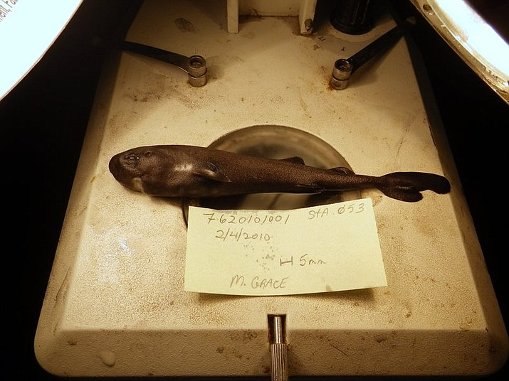 This undated image provided by National Oceanic Atmospheric Administration National Marine Fisheries Service Southeast Fisheries Science Center shows a 5.5-inch long rare pocket shark. A pocket-sized pocket shark found in the Gulf of Mexico has turned out to be a new species, and one that squirts little glowing clouds into the ocean.