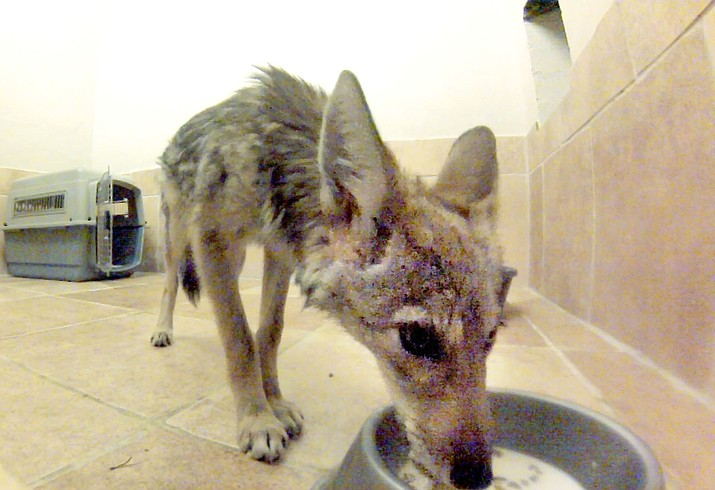 This 12-week-old baby coyote is being rehabilitated and eventually will be returned to the wild at the Runnin' W Wildlife Center in Cornville. VVN/Vyto Starinskas