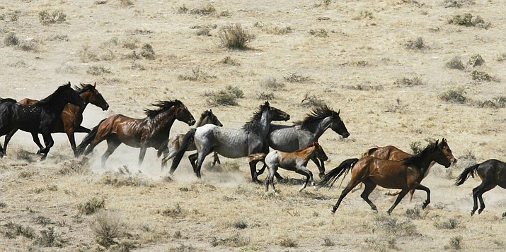 This July 25, 2007 file photo, shows wild horses being herded by the Bureau of Land Management in a field, at the Black Mountain and Hardtrigger Herd Management Areas in the Owyhee Mountains southeast of Marsing, Idaho. The Trump administration will not pursue lethal measures such as euthanasia or selling horses for slaughter to deal with what officials say is an ecological and fiscal crisis caused by too many wild horses on rangelands in the U.S. West. U.S. Bureau of Land Management Acting Director Casey Hammond told the Wild Horse and Burro Advisory Board July 11, that those options are not on the table. (Darin Oswald/Idaho Statesman via AP, File)