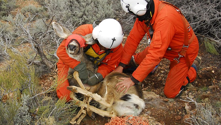 Game and Fish collars 20 Flagstaff-area mule deer for movement, vehicle impact study