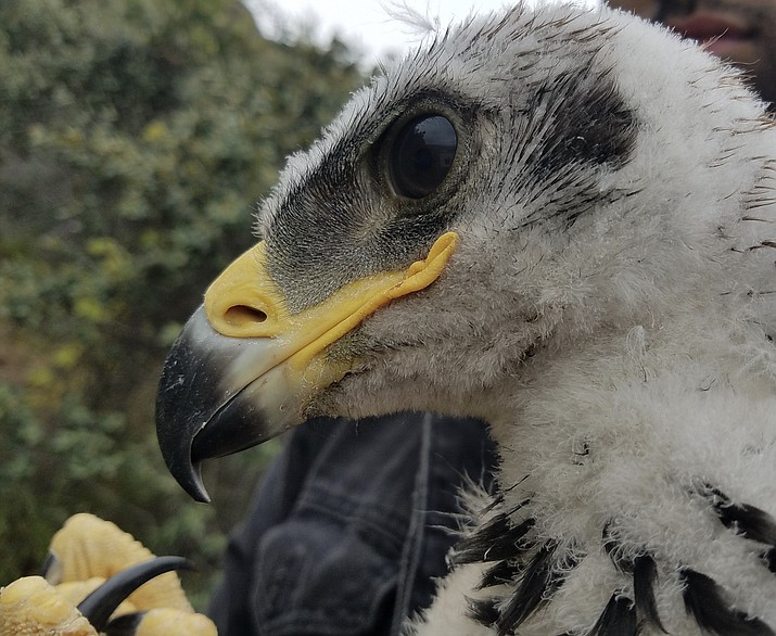 Two golden eagle chicks were found in a nest in the Western Santa Monica Mountains. (Photo/NPS)